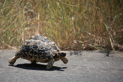 Why did the tortoise cross the road?. To get to the other side of course Royalty Free Stock Image