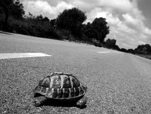 Why did the turtle cross the road. Turtle slowly works his way across a cement road risking to become road kill Stock Photo