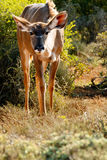 Why - Greater Kudu - Tragelaphus strepsiceros. Why - The greater kudu is a woodland antelope found throughout eastern and southern Africa. Despite occupying such royalty free stock photography