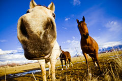 Why The Long Face?. A few horses through a wide angle lens Royalty Free Stock Photos