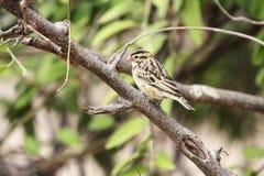 Whydah de cauda rosada (fêmea) Imagem de Stock Royalty Free