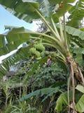 Wiązka zieleni banany Patrzeją wielkimi obrazy royalty free