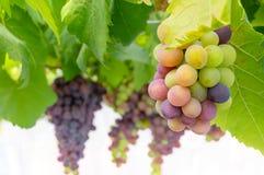 Wiązki świezi winogrona obrazy stock