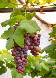 Wiązki świezi winogrona zdjęcia royalty free