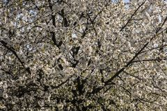 Wiśnia podczas wiosna czasu obraz stock