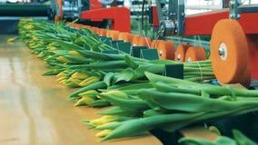 Wiążący w górę kwitnących tulipanów dostaje przenosił konwejerem zbiory