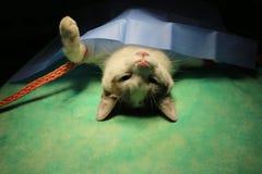 Wiązany kot w anestezi zdjęcia royalty free