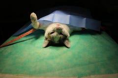 Wiązany kot w anestezi obraz stock