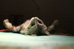 Wiązany kot w anestezi fotografia royalty free