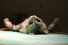 Wiązany kot w anestezi fotografia stock
