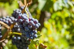 wiązek błękitny winogrona Zdjęcie Stock
