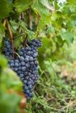 wiązek błękitny winogrona Fotografia Stock