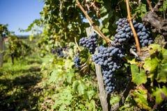 wiązek błękitny winogrona Zdjęcie Royalty Free