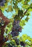 wiązek czerwonych winogron Obraz Royalty Free