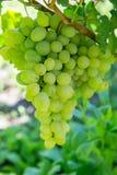 wiązek dojrzałych winogron Obrazy Royalty Free