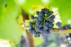 wiązek dojrzałych winogron Fotografia Stock