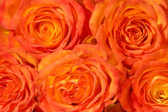 wiązek róże Obraz Royalty Free