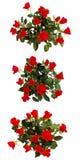 wiązek róże Zdjęcie Stock