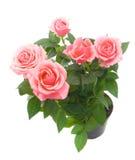 wiązek róże Obraz Stock