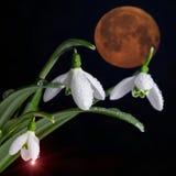 Wiązka śnieżyczka kwiaty i gigantyczna krwista księżyc Fotografia Stock