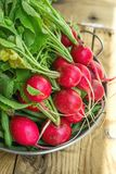 Wiązka Świeże Organicznie Czerwone rzodkwie z Wodnymi kroplami w Aluminiowym naczyniu na Wietrzejącym drewno ogródu stole w świet Zdjęcia Royalty Free