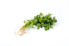 Wiązka świeży cilantro Fotografia Stock