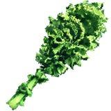 Wiązka świeży kędzierzawy zielony kale liść odizolowywający, akwareli ilustracja ilustracji