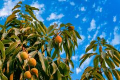 Wiązka świeży lychee obwieszenie na drzewie z liśćmi obrazy stock