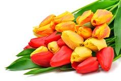 Wiązka świezi czerwoni i żółci tulipany Obraz Royalty Free