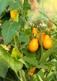 Wiązka żółci pomidory fotografia royalty free