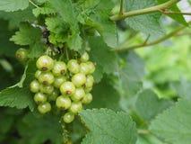 Wiązka agresty na owocowym krzaku zdjęcie stock