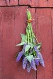 Wiązka anyżowego hizopu Agastache foeniculum ziele Obrazy Royalty Free