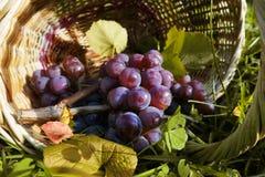 Wiązka błękitni winogrona kłama w koszu Obraz Royalty Free