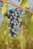 Wiązka błękitny winogrono przy winogradem w jesieni Zdjęcie Stock
