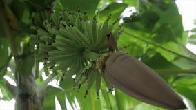 Wiązka banany i kwiat zbiory wideo
