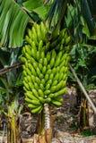 Wiązka banany przeciw zieleni opuszcza przy plantacją, kanarowi banany, Tenerife Obrazy Stock