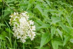 Wiązka biała akacja na zielonym tle Akacjowa Czarna szarańcza, także znać jako grochodrzewu pseudoacacia obraz royalty free