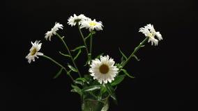 Wiązka białe stokrotki w szklany wazowy wirować zdjęcie wideo
