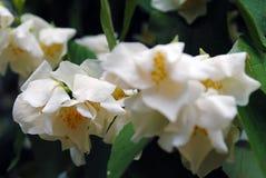 Wiązka białego kwiatu exochorda Obraz Stock