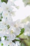 Wiązka białego okwitnięcia jabłczany owocowy drzewo w wiośnie Fotografia Stock