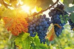 Wiązka czarni winogrona zdjęcia stock