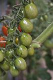 Wiązka czereśniowi pomidory Zdjęcie Stock
