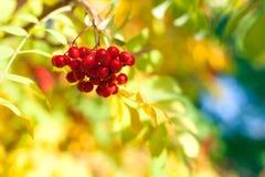 Wiązka czerwone rowan jagody na koloru żółtego, błękitnego i zielonego jesień liści bokeh tła zbliżeniu, zdjęcie stock