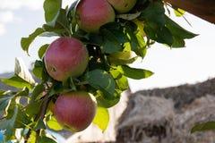Wiązka czerwoni jabłka na rozgałęzia się gotowego zbierającym obrazy stock
