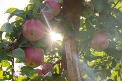 Wiązka czerwoni jabłka na rozgałęzia się gotowego zbierającym z słońce promieniami obraz stock