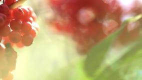 Wiązka czerwony halnego popiółu kiwanie w wiatrze Dojrzała rowan owoc na gałąź w górę zbiory wideo