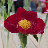 Wiązka czerwony Sarah bernhardt ciie out peonie w turkusowej szklanej butelce na białym drewnianym stole Zdjęcia Stock