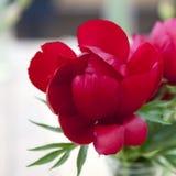 Wiązka czerwony Sarah bernhardt ciie out peonie w turkusowej szklanej butelce na białym drewnianym stole Obraz Stock