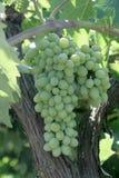 Wiązka dojrzały winogrono Zdjęcia Stock