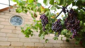 Wiązka dojrzali różowi winogrona w jardzie na lato wieczór Szerokiego kąta panoramiczny strzał zdjęcie wideo